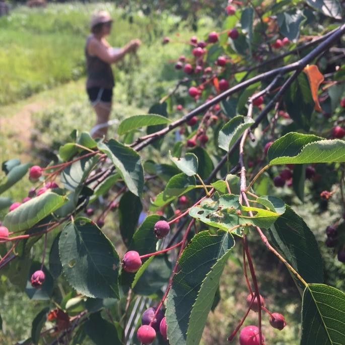 Juneberries on tree.