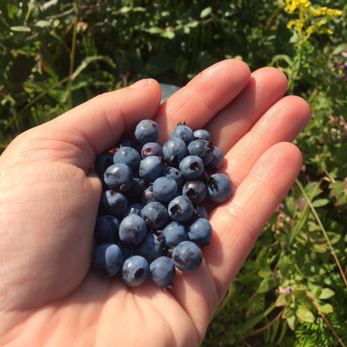 Wild blueberries in hand.