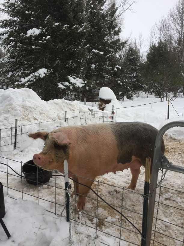 Big pink pig in snow